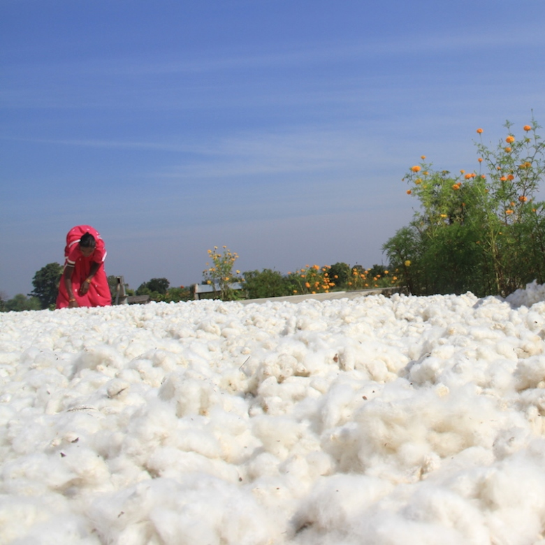 Cotton Drying OdishaIMG_2298Dec 2012.JPG